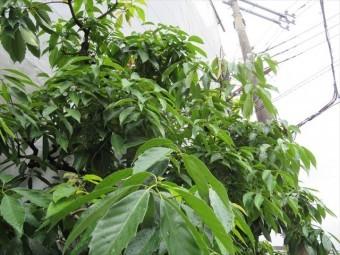 雨後は木々も瑞々しく、勾配のある屋根が濡れていると瑞々しいとは言えない滑りやすい危険さがあります