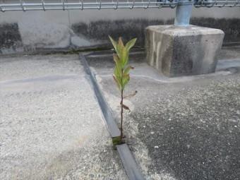 陸屋根屋上シンダーコンクリート打ち継ぎ干渉目地には種子や胞子が付着しやすく草が生えやすい