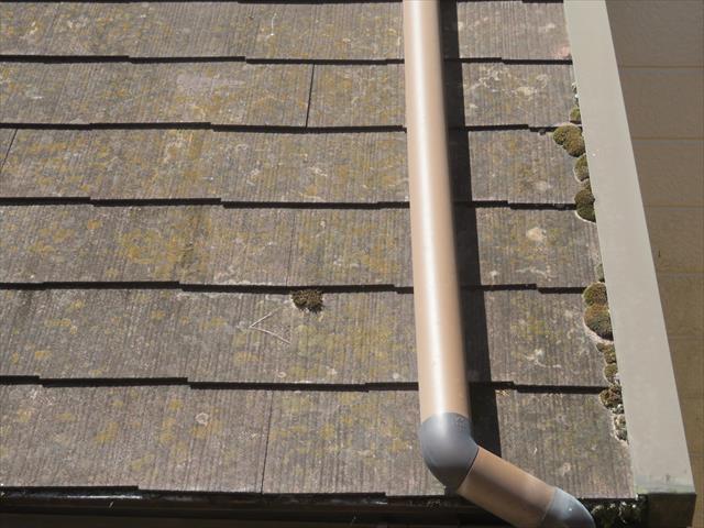 カラーベストでコロニアルとも呼ばれることがあるスレート屋根にこんもりと盛り上がった苔が何体も出来上がっている