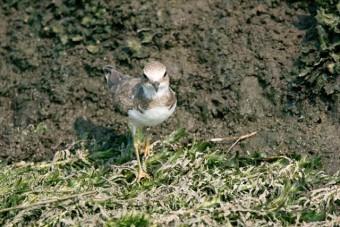 雀のように身近な普通の鳥は2本の足を同時に弾ませるようにちょんちょんと歩行しますが、千鳥は左右交互、しかも一直線上に歩を進める珍しい鳥です。
